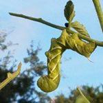 Green hornworm on a stem