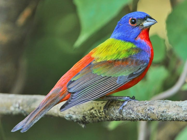 Male Painted Bunting - brilliantly colored red, blue and green.le Green in color.