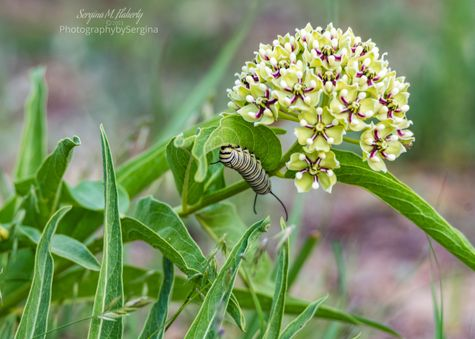 Monarch caterpillar on antelope horn milkweed by Sergina Flaherty